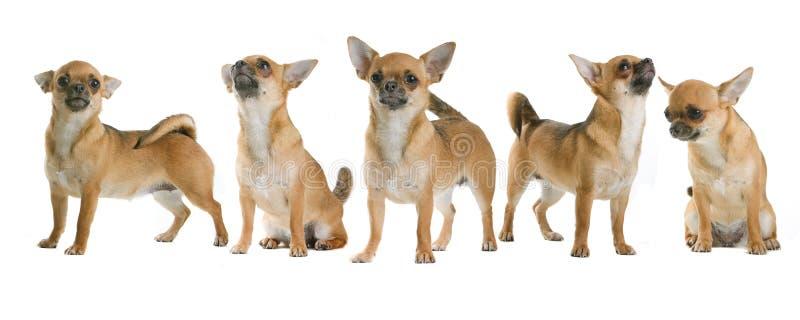 Gruppe Chihuahuahunde lizenzfreies stockfoto