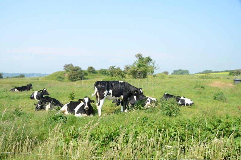 Gruppe dänisches Schwarzweiss-Vieh stockbild
