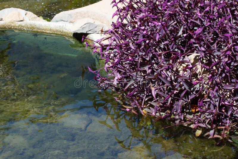 Gruppe der eingreifenden purpurroten Anlage Tradescantia pallida nahe Fluss lizenzfreies stockbild