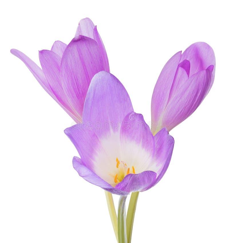 Gruppe der hellen lila Blume des Krokusses drei auf Weiß lizenzfreie stockfotos