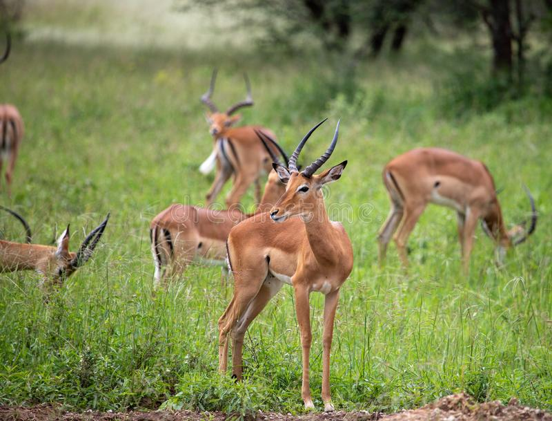 Gruppe der Impala herum schauend stockfotos