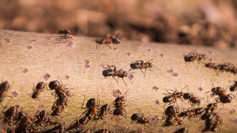 Gruppe der kriechenden und arbeitenden Ameisen lizenzfreies stockfoto