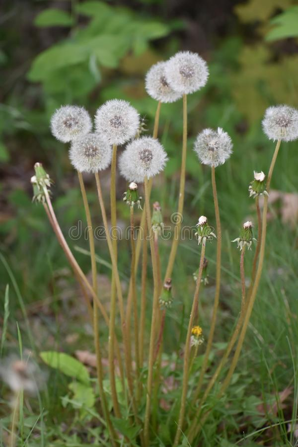 Gruppe der Kronleuchter Puff-Kopfblumen lizenzfreies stockfoto