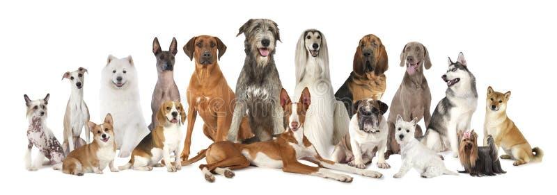 Gruppe der verschiedenen Art der reinrassigen Hunde stockbild
