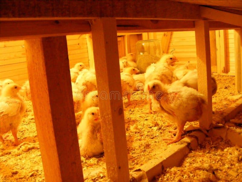 Gruppe des Babyhuhns in der Geflügelfarm, bruder mit Strom, Hühnerstall auf einem Bauernhof lizenzfreies stockfoto