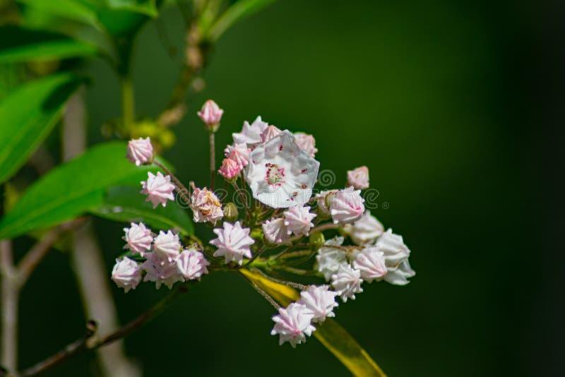 Gruppe des Berges Laurel Flower und der Knospen stockfotos