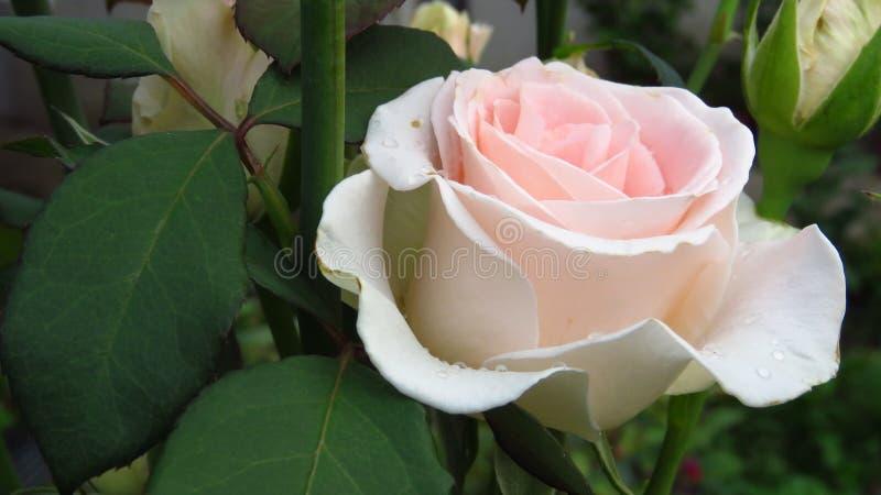Gruppe des Elfenbeins Rose Buds, völlig geöffnete Rose, Grün-Blätter und lange Stämme lizenzfreie stockfotografie