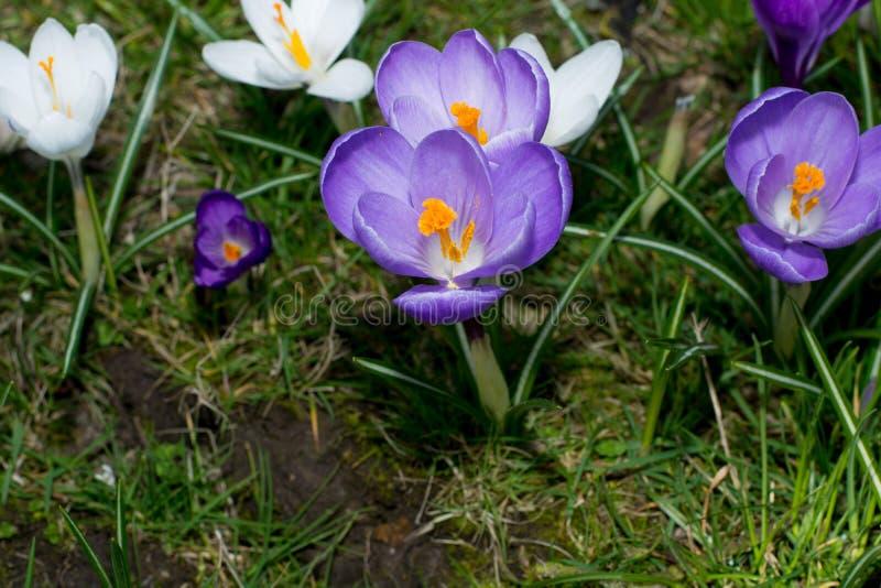 Gruppe des ersten Frühlinges blüht - purpurrote Krokusblüte draußen lizenzfreies stockbild
