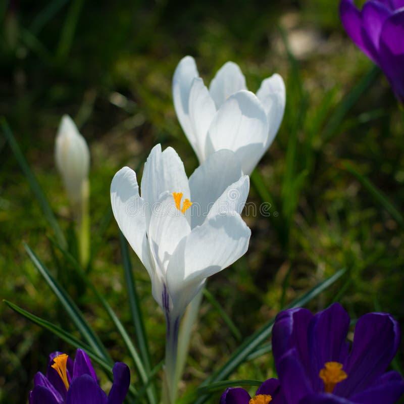 Gruppe des ersten Frühlinges blüht - purpurrote Krokusblüte draußen stockbild