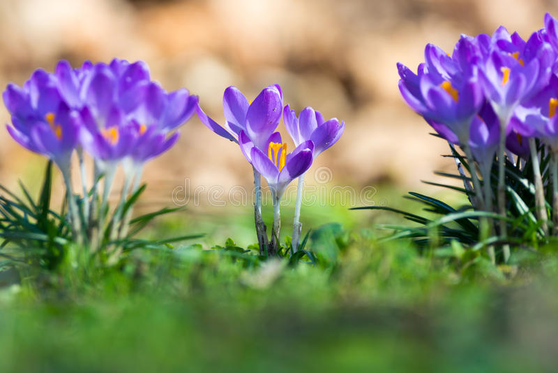 Gruppe des ersten Frühlinges blüht - purpurrote Krokusblüte draußen stockfotografie