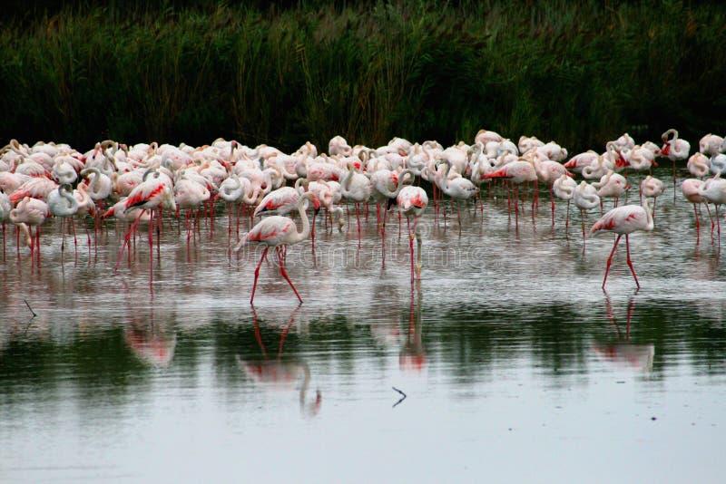 Gruppe des Flamingos stockbild