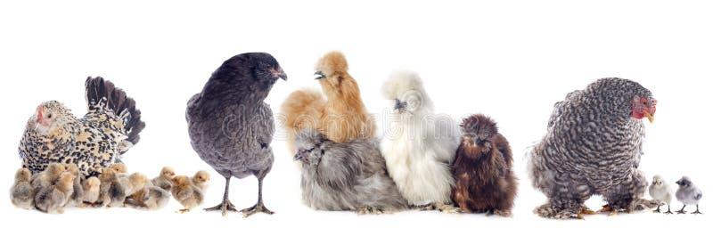 Gruppe des Huhns stockbilder