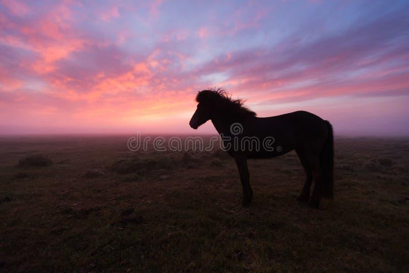 Gruppe des isländischen Pferds im schönen Sonnenuntergang stockfotos