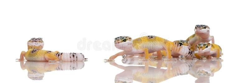 Gruppe des jungen Leopard Gecko - Eublepharis macular stockfotografie