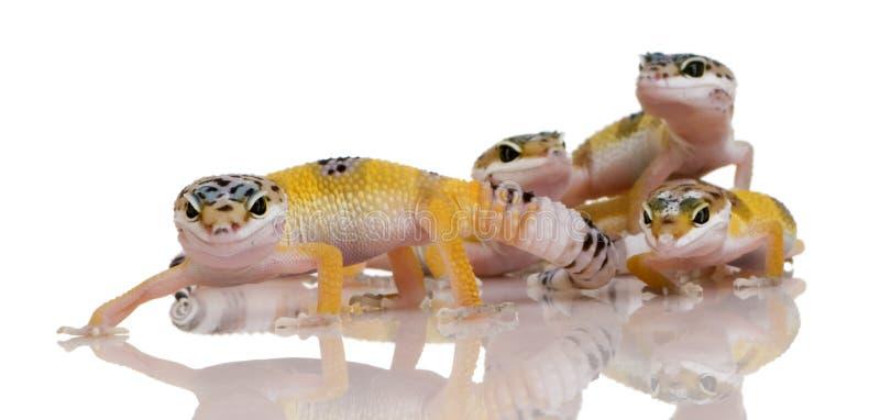 Gruppe des jungen Leopard Gecko - Eublepharis macular lizenzfreie stockfotografie