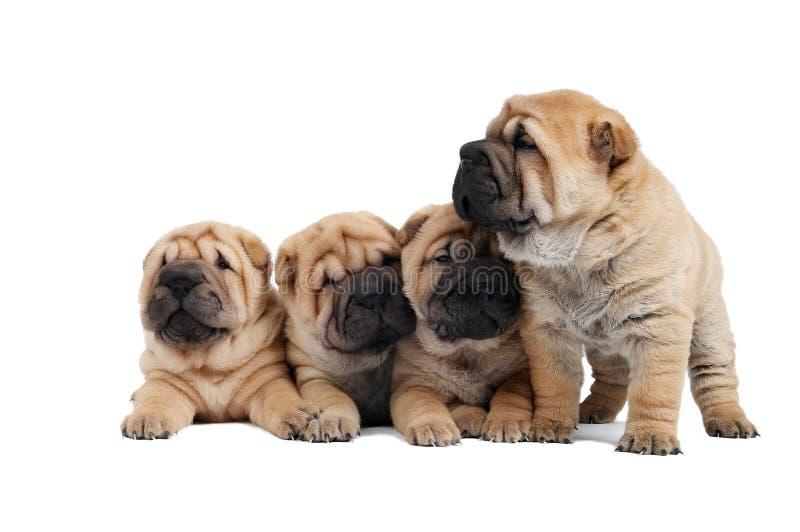 Gruppe des kleinen sharpei Hundes lizenzfreie stockbilder