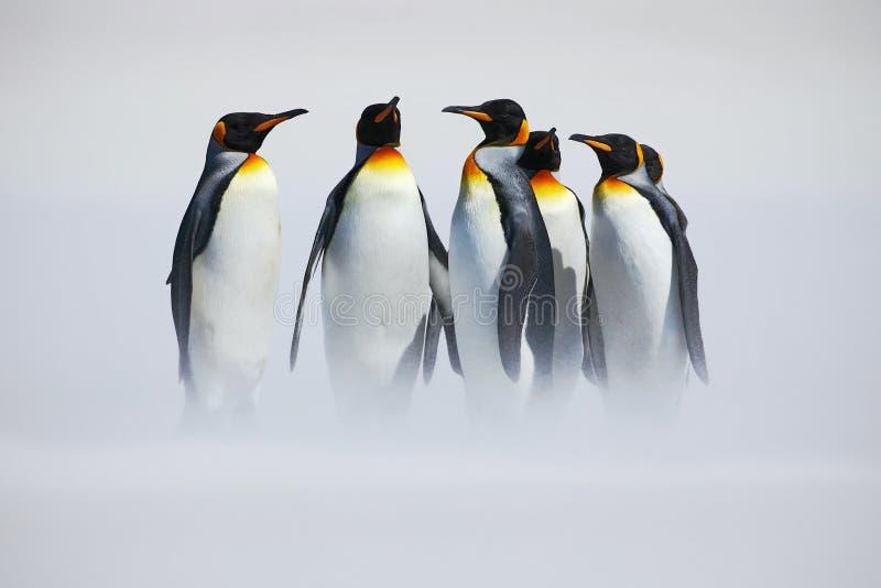 Gruppe des Pinguins Gruppe von sechs Königpinguinen, Aptenodytes patagonicus, gehend vom weißen Schnee zum Meer in Falkland Islan stockbild