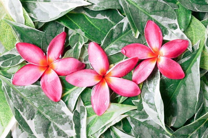 Gruppe des Rosas durchnäßte Frangipani oder Plumeria auf grünen Blättern lizenzfreie stockfotos