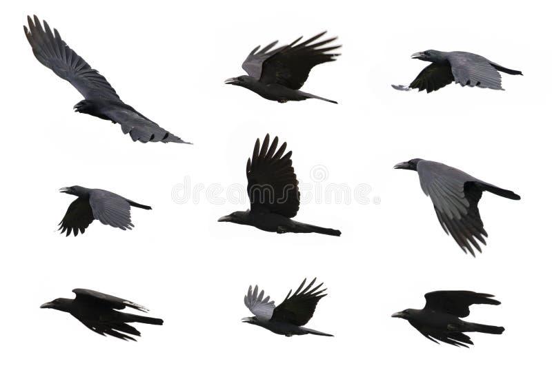 Gruppe des schwarzen Krähenfliegens auf weißem Hintergrund tier lizenzfreie stockfotos