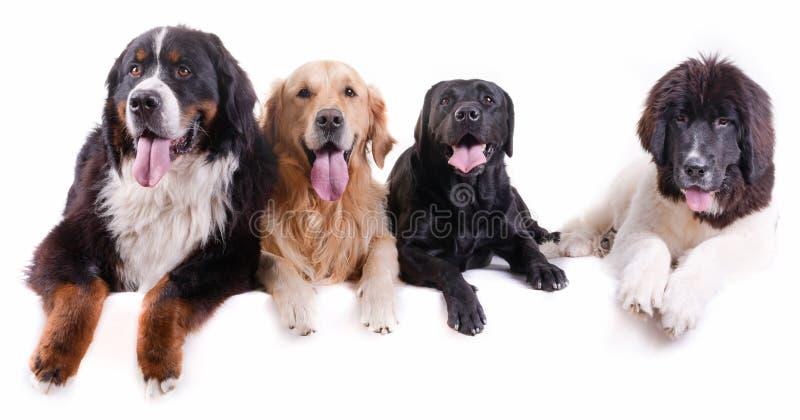 Gruppe des unterschiedlichen Zuchthundes vor weißem Hintergrund stockfoto