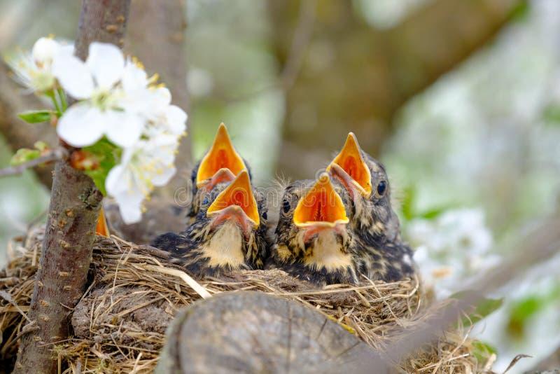 Gruppe des Vogelbabys mit der Wartefütterung des breiten offenen Munds Anschmiegen des Vogels mit dem orange Schnabel auf einem B stockfotografie