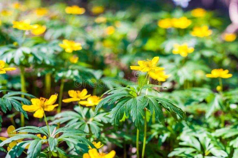 Gruppe des Wachsens von Anemone Ranunculoides oder von gelben Buschwindröschenblumen im Vorfrühlingswald lizenzfreie stockfotografie