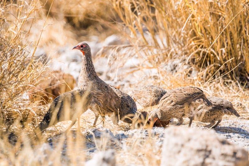 Gruppe eines Swainson-` s Spurfowls in der Dürrenafrikanersavanne stockfotos