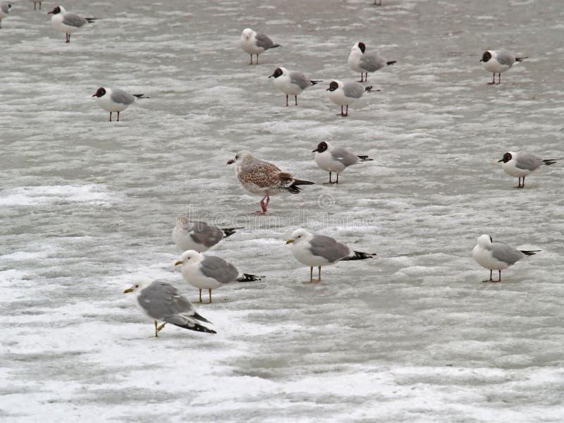Gruppe einfrierende Seemöwen stockbilder
