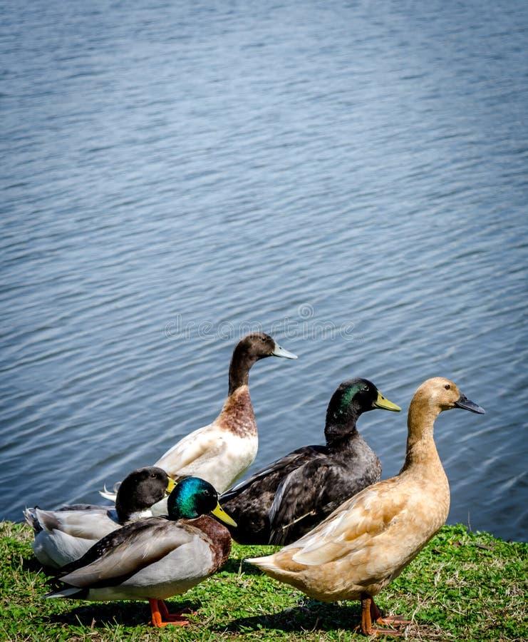 Gruppe Enten lizenzfreie stockbilder