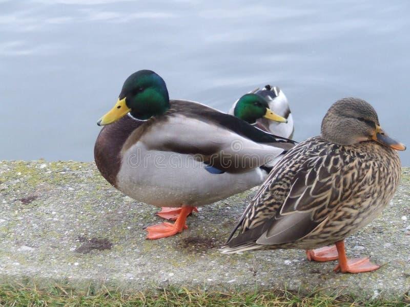 Gruppe Enten nähern sich Wasser stockfotografie