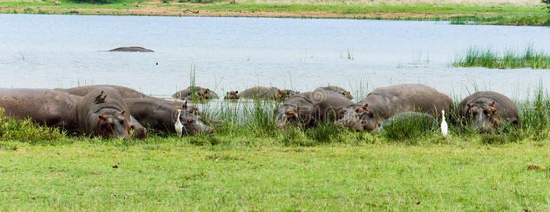 Gruppe Flusspferde, die auf Land liegen stockfotografie