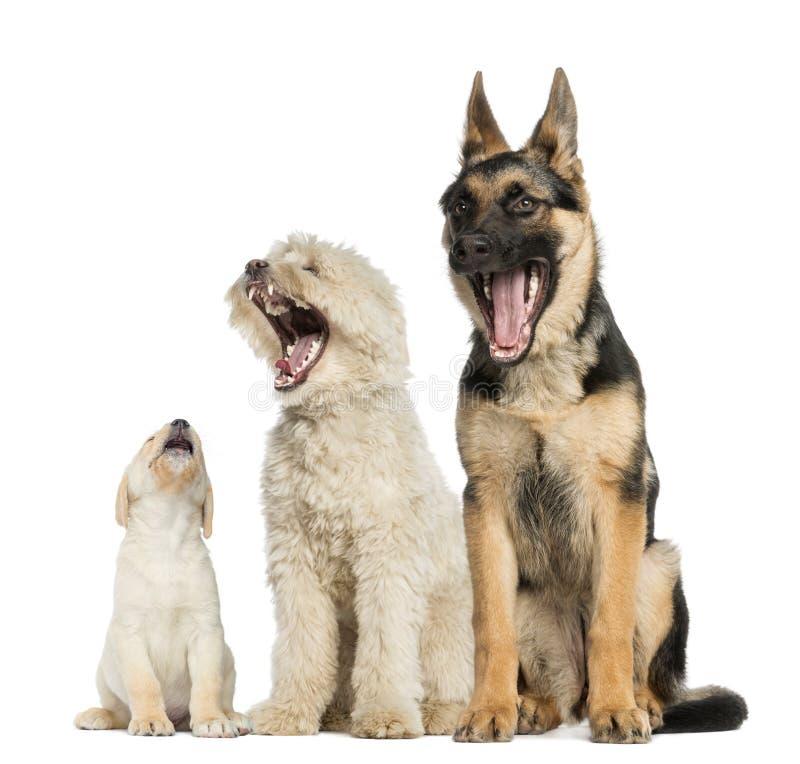 Gruppe gähnende Hunde stockbilder