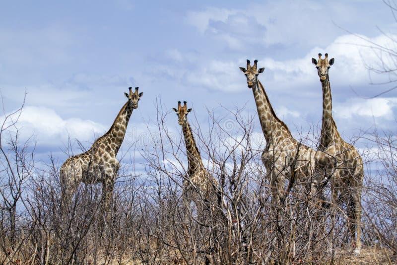 Gruppe Giraffen in Nationalpark Kruger, in der Straße, Südafrika lizenzfreie stockbilder
