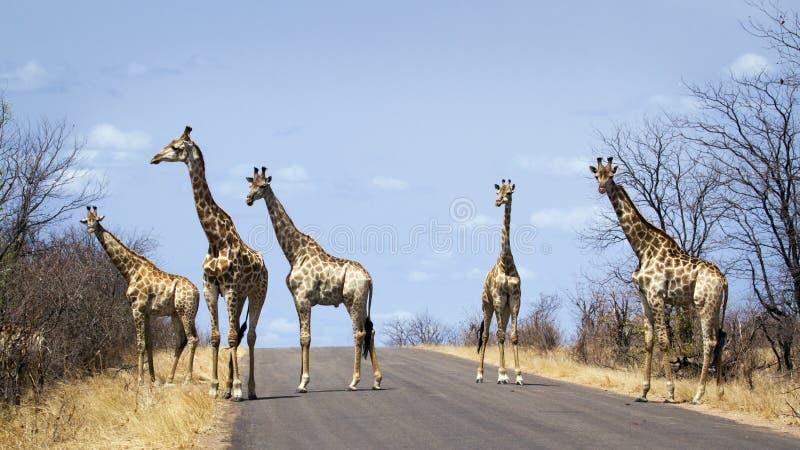 Gruppe Giraffen in Nationalpark Kruger, in der Straße, Südafrika lizenzfreie stockfotos