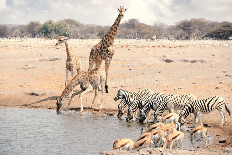 Gruppe Giraffen, Zebras und Springböcke in Namibia - Nationalpark Etosha stockbilder
