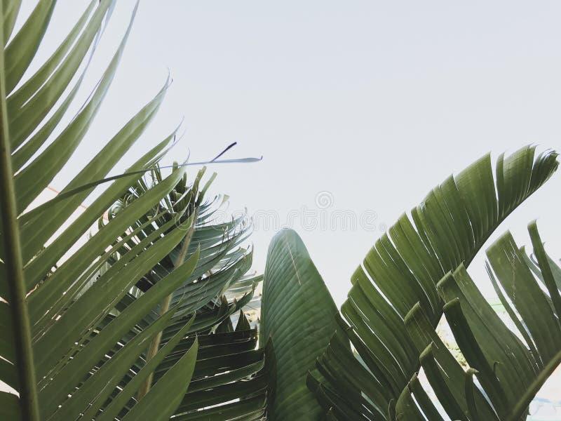 Gruppe gro?e gr?ne Bananenbl?tter der exotischen Palme im Sonnenschein auf wei?em Hintergrund lizenzfreie stockfotografie