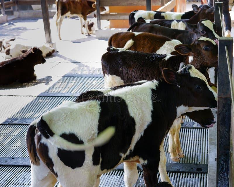 Gruppe identische Kälber, die zusammen im Bauernhof stehen stockbilder