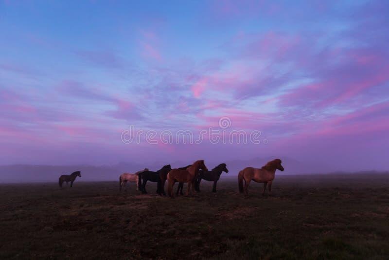 Gruppe isländische Pferde im schönen Sonnenuntergang stockbilder