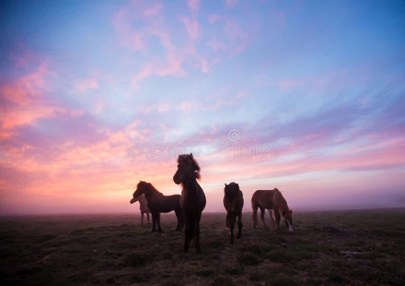 Gruppe isländische Pferde im schönen Sonnenuntergang lizenzfreies stockfoto