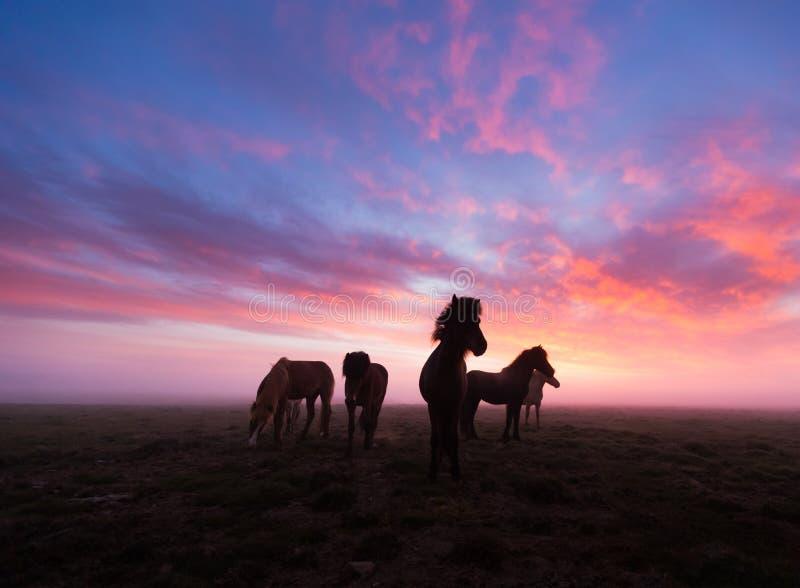 Gruppe isländische Pferde im schönen Sonnenuntergang lizenzfreies stockbild