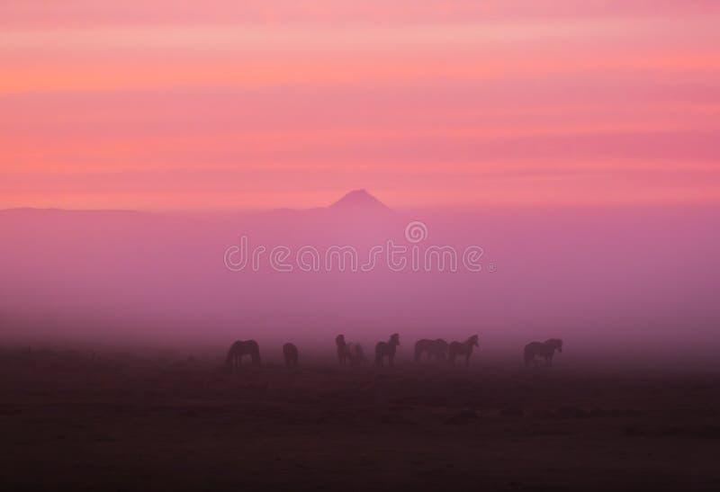 Gruppe isländische Pferde im schönen Sonnenuntergang stockbild