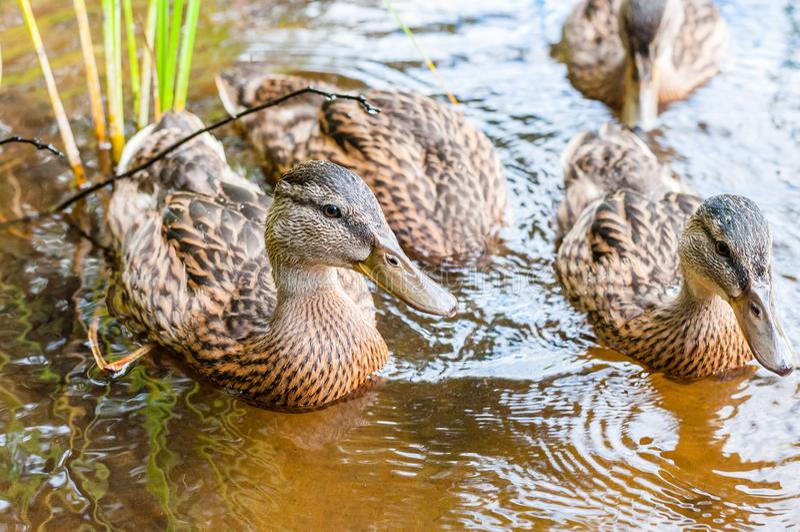 Gruppe junge braune Enten, Entlein, die zusammen im See nahe den Küste Wasservogelspezies in der Wasservogelfamilie schwimmen lizenzfreie stockbilder