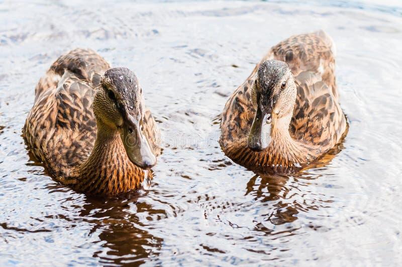 Gruppe junge braune Enten, Entlein, die zusammen im See nahe den Küste Wasservogelspezies in der Wasservogelfamilie schwimmen lizenzfreie stockfotos