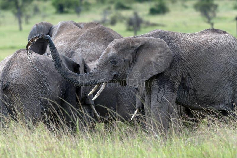 Gruppe junge Elefanten, die mit Wasser spielen lizenzfreie stockfotografie