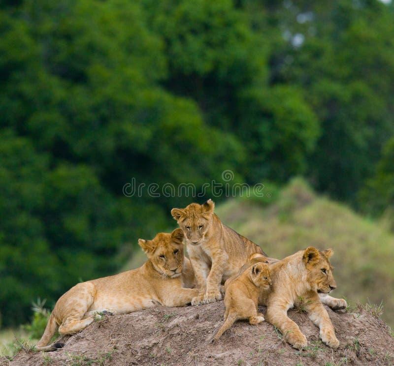 Gruppe junge Löwen auf dem Hügel Chiang Mai kenia tanzania Masai Mara serengeti lizenzfreies stockfoto