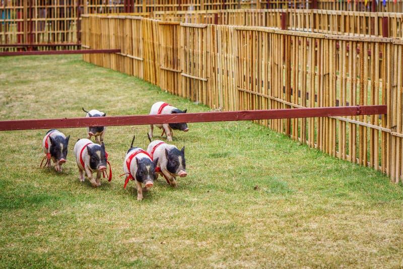 Gruppe junge Schweine im Schweinrennen lizenzfreie stockfotografie