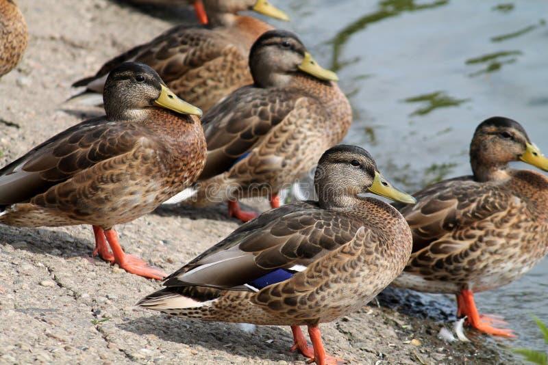 Gruppe junge Wildenten auf dem Seeufer im Sommer lizenzfreies stockfoto