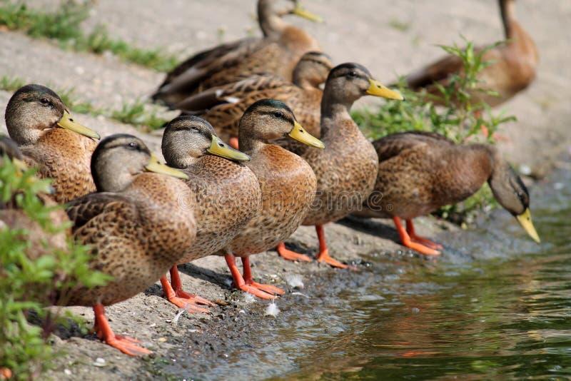 Gruppe junge Wildenten auf dem Seeufer im Sommer stockbilder