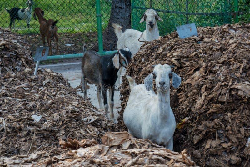 Gruppe junge Ziegen mit den kleinen Hörnern, die in der Kamera schauen stockbilder