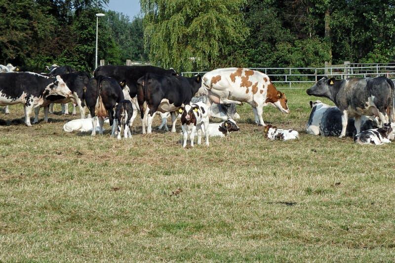 Gruppe Kühe stockfoto